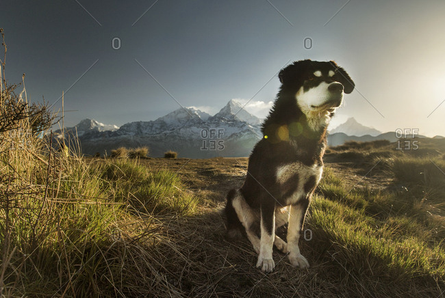 A dog sits still, staring off into the distance, with the peaks of Annapurna and Machapuchare in the distance.