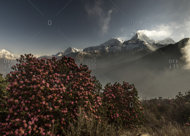 A Rhododendron tree with Machapuchare Mountain in the background.