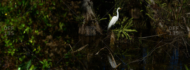 Great egret, Ardea alba, perched on a tree branch in Everglades National Park.