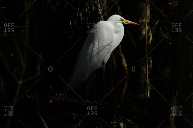 A great egret, Ardea alba, in Everglades National Park.
