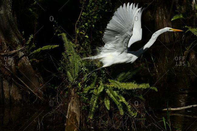 Great egret, Ardea alba, in flight in Everglades National Park.