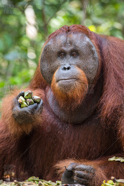 A wild, dominant male Bornean orangutan, Pongo pygmaeus, with bananas from a supplemental feeding by park rangers, in Tanjung Puting National Park.