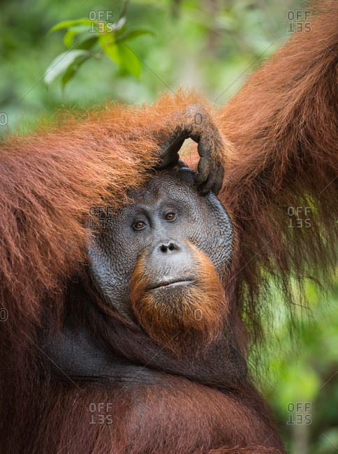 A wild, dominant male Bornean orangutan, Pongo pygmaeus, scratches his head in Tanjung Puting National Park.