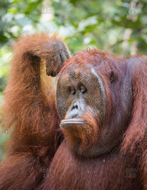 A wild, dominant male Bornean orangutan, Pongo pygmaeus, in Tanjung Puting National Park.
