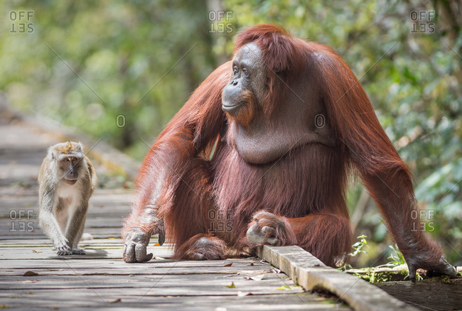 A wild, female Bornean orangutan, Pongo pygmaeus, sitting on boardwalk with a long-tail macaque, Macaca fascicularis, in Tanjung Puting National Park.