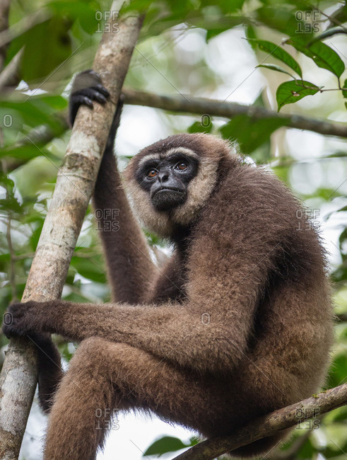 An agile gibbon, Hylobates agilis, sitting in a tree in Tanjung Puting National Park.