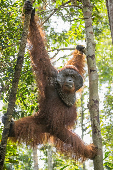 A wild, dominant male Bornean orangutan, Pongo pygmaeus, hangs between trees in Tanjung Puting National Park.