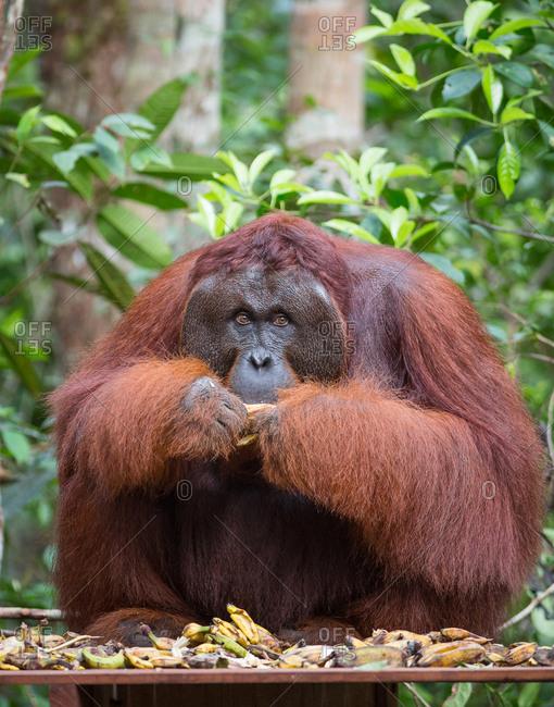 A wild, dominant male Bornean orangutan, Pongo pygmaeus, eating bananas from a supplemental feeding by park rangers, in Tanjung Puting National Park.