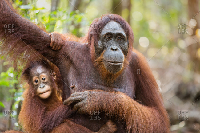 A wild, female Bornean orangutan with young, Pongo pygmaeus, in Tanjung Puting National Park.