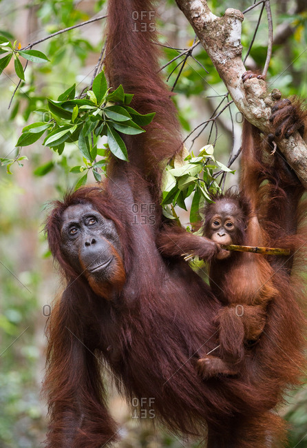 A wild, female Bornean orangutan with young, Pongo pygmaeus, eating in Tanjung Puting National Park.