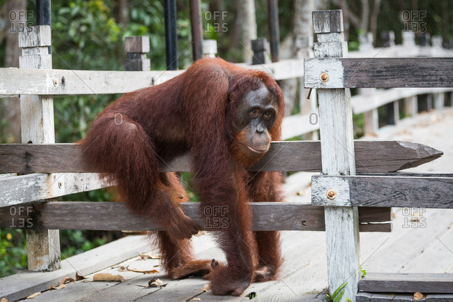 A wild Bornean orangutan, Pongo pygmaeus, blocking the entrance to the boat dock at Camp Leakey in Tanjung Puting National Park.