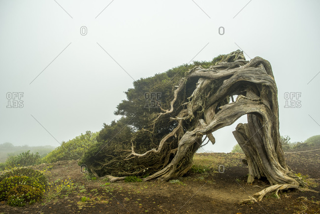 A Sabina tree, Juniperus phoenicea, a curved, slow growing tree in the south coast of El Hierro Island.