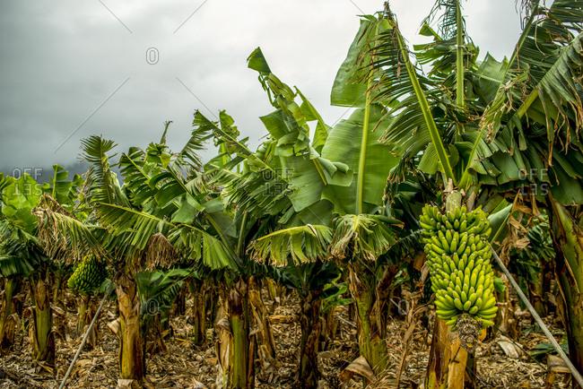 A banana plantation on El Hierro Island.