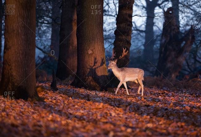 A fallow deer stag, Dama dama, walks through a dappled forest at sunrise.