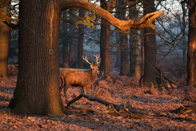 A large male red deer stag, Cervus elaphus, walks through a forest in Richmond park at sunrise.