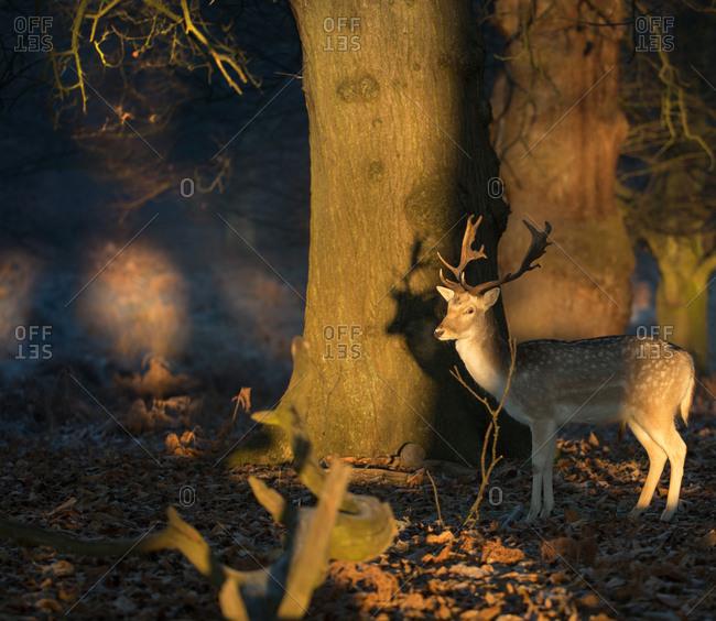 A fallow deer stag, Dama dama, walks through a dappled forest in Richmond Park at sunrise.