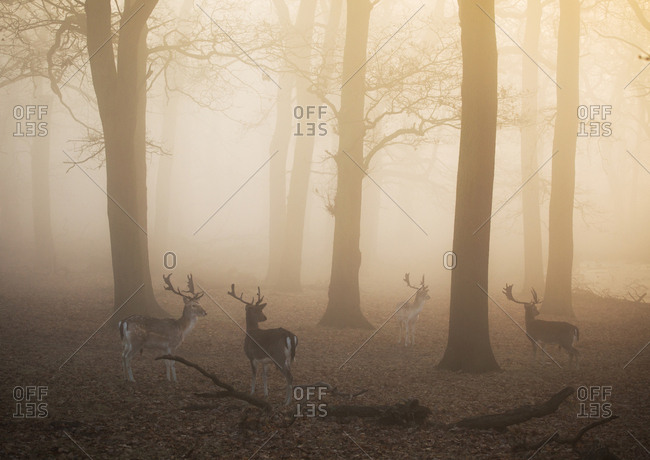 Fallow deer stags, Dama dama, walk through a misty forest in Richmond Park at sunrise.