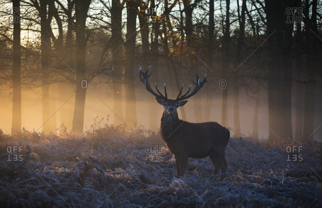 A large red deer stag, Cervus elaphus, stands in Richmond Park at dawn.
