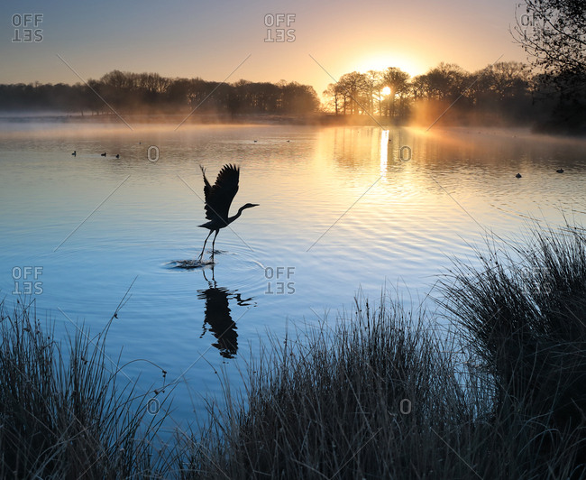 A grey heron, Ardea cinerea, takes off from a misty lake at sunrise in Richmond Park.