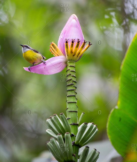 A bananaquit, Coereba flaveola, feeding from a banana flower in the Atlantic rainforest.