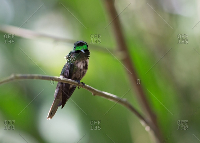 A festive coquette hummingbird male, Lophornis chalybeus, in the Atlantic rainforest.