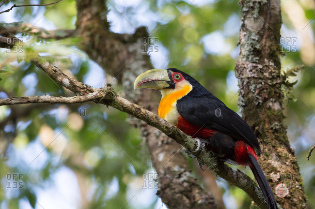 A green-billed toucan, Ramphastos dicolorus, or red-breasted toucan, in the Atlantic rainforest.