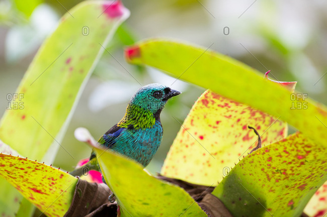 A green-headed tanager, Tangara seledon, in bromelia leaves in the Atlantic rainforest.