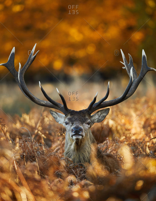A large male red deer stag, Cervus elaphus, in the autumn leaves of Richmond Park at dawn.