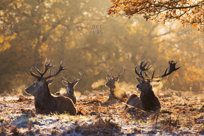 A group of large male red deer stags, Cervus elaphus, in Richmond Park at dawn.