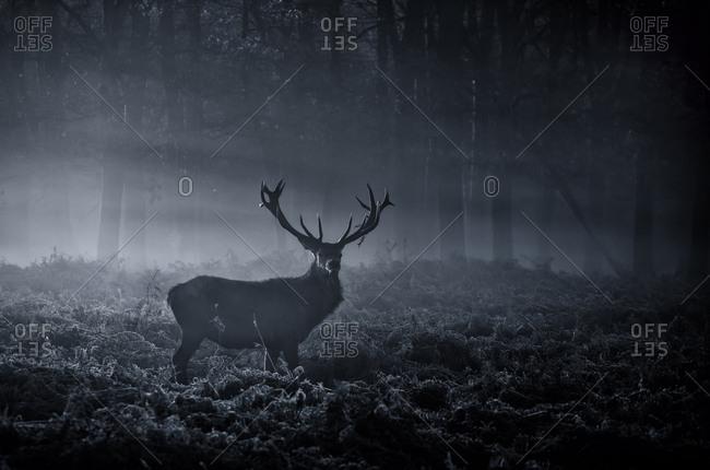 A large red deer stag, Cervus elaphus, in Richmond Park at dawn.