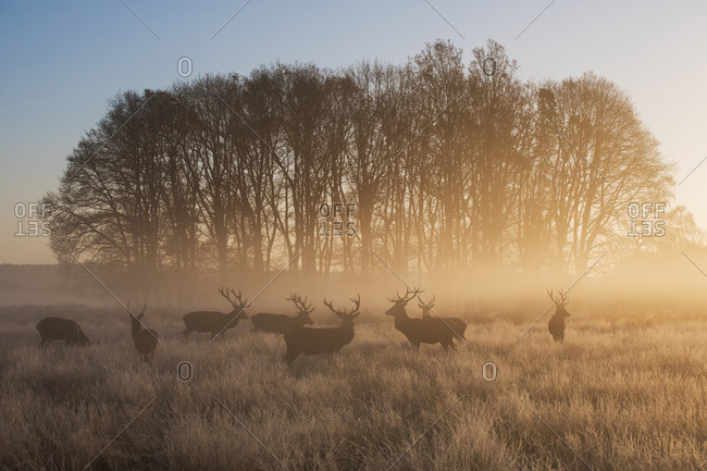 A large group of red deer stags, Cervus elaphus, in Richmond Park at dawn.