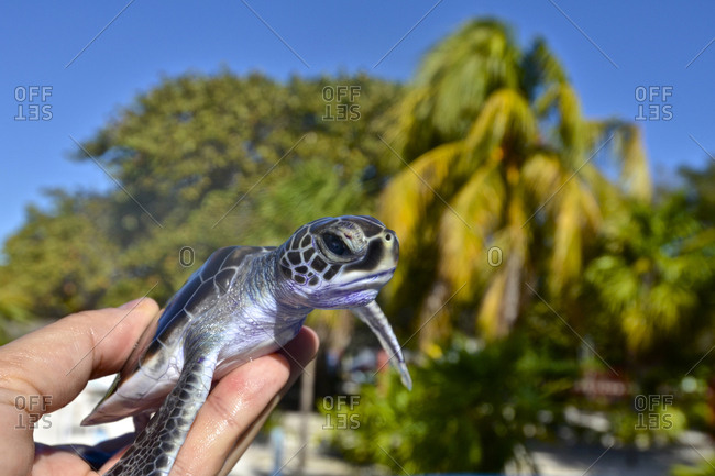 A green sea turtle hatchling, Chelonia mydas, at the Cayo Largo Turtle Rescue Center in Cuba.