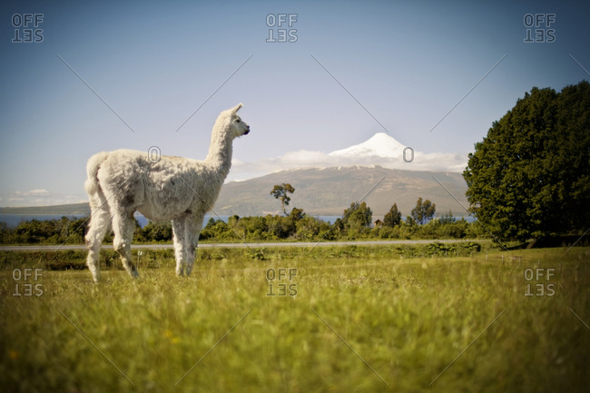 Llama standing in a scenic field