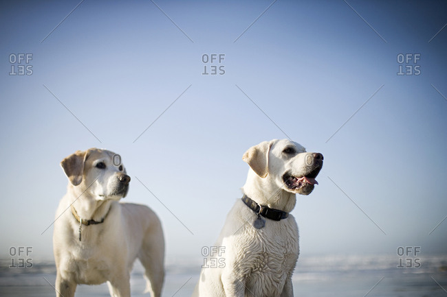 Two Labrador retrievers on the beach