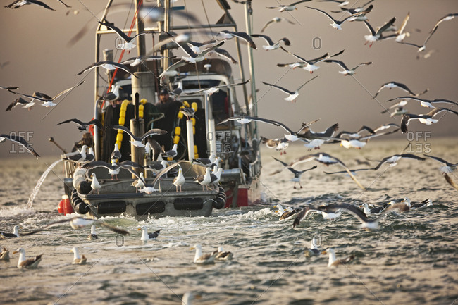 Flock of seagulls following a fishing boat