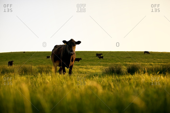 Cows standing in a lush field