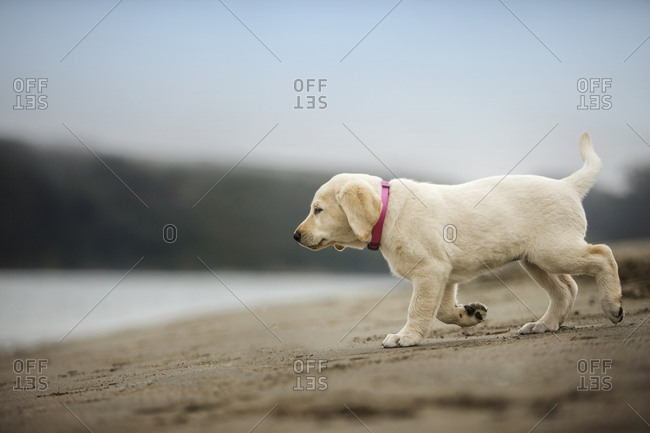 Puppy walking on the beach