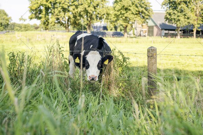 Curious cow in meadow looking under barbed wire.