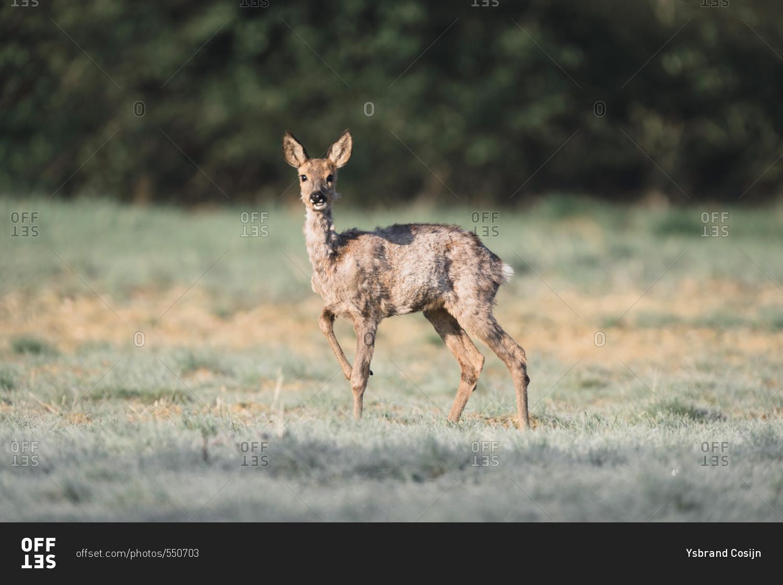 Roe Deer Doe In Field Looking Up Stock Photo