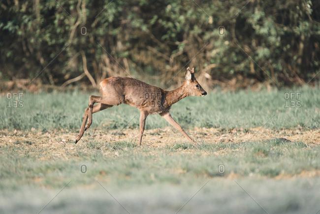 Roe deer buck with bark antlers running in field.