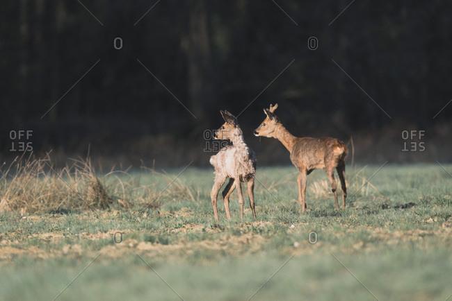 Two alert roe deer in meadow lit by morning sunlight.