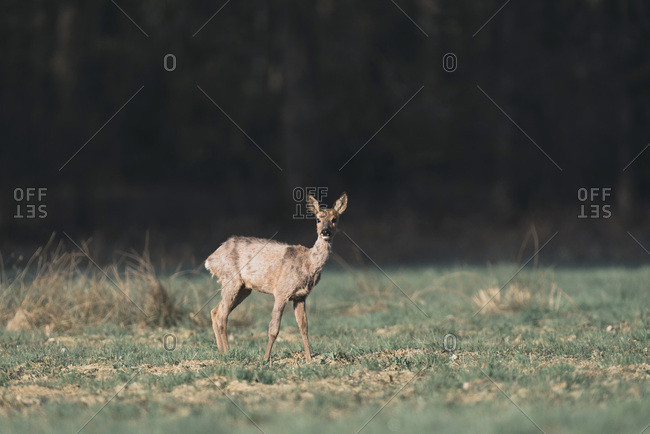 Roe deer doe standing in field in morning sunlight picking up sound.