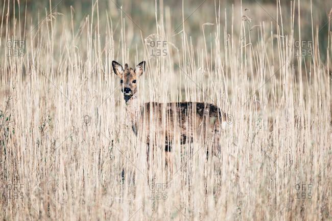 Alert roe deer buck with bark antlers standing between reed.