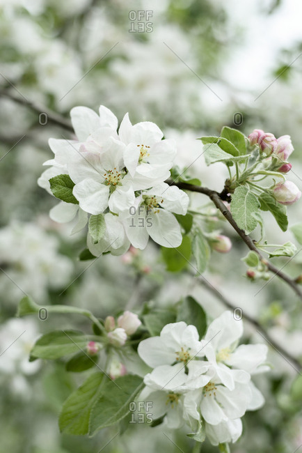 Beautiful apple blossoms in spring.