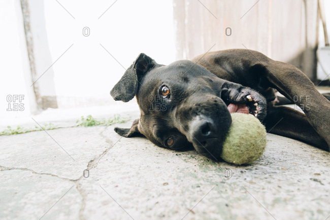 Close-up of dog playing with tennis ball