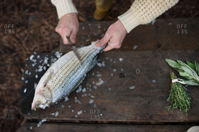 Striped sea bass being scaled in the wild