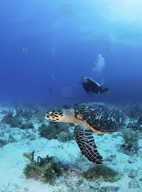 Scuba diver with Hawksbill turtle at the Gardens of the Queen