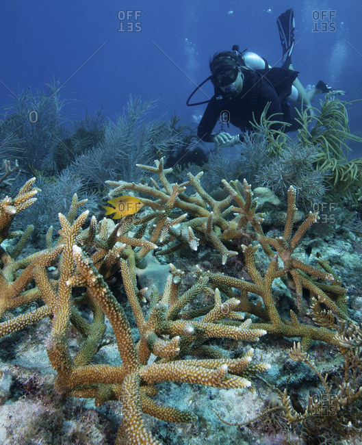 Reef scene with Staghorn coral at the Florida Keys National Marine Sanctuary