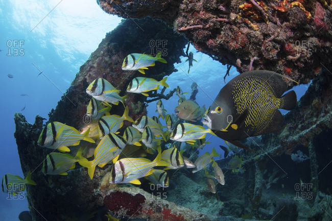 Rainbow parrotfish, angelfish, and porkfish on the wreck of the Benwood