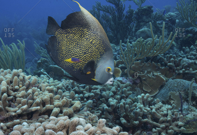 French angelfish with Spanish Hogfish cruises along coral reef Juvenile Spanish hogfish often act as cleaner fishes by following larger fish